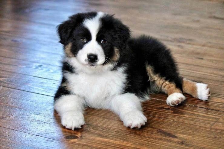 best_aussie_puppies_1