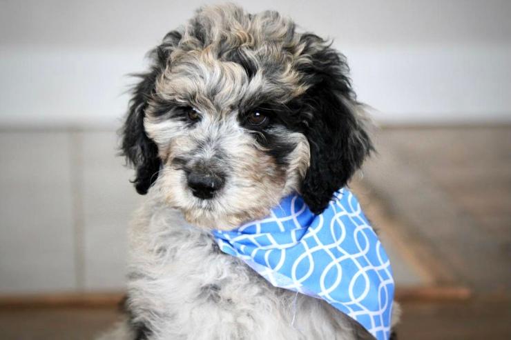 aussie_doodle_puppies_for_sale_4