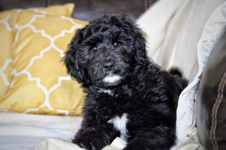 aussiedoodle_puppies_for_sale_