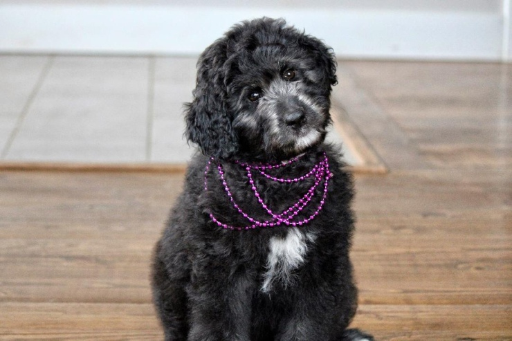 _aussiedoodle_puppies_for_sale_1