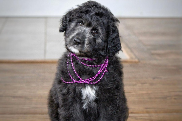 _aussiedoodle_puppies_for_sale_3