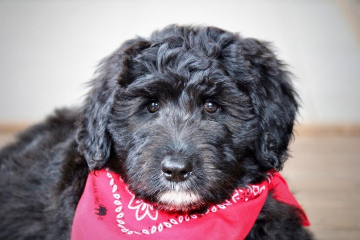 aussiedoodle_puppies_for_sale_4