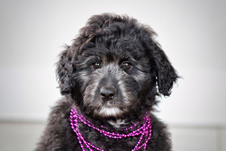 _aussiedoodle_puppies_for_sale_4