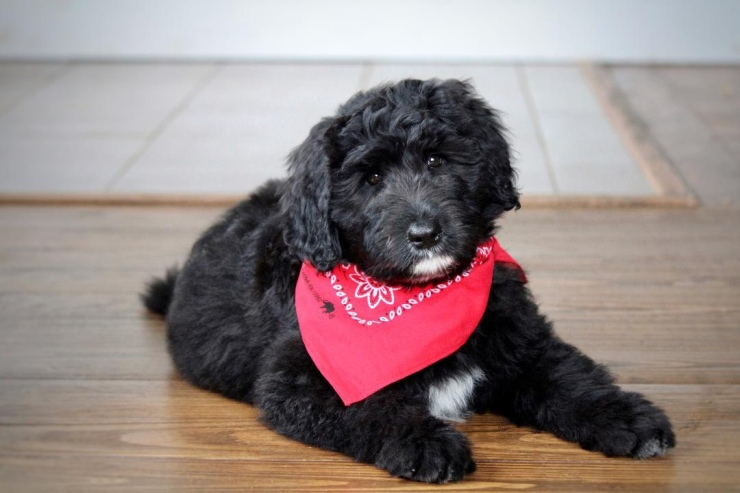 aussiedoodle_puppies_for_sale_5