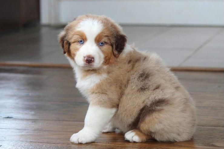 reputable_australian_shepherd_breeders_in_baltimore_area_