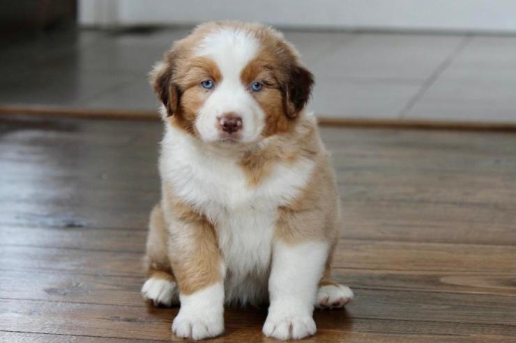 reputable_australian_shepherd_breeders_in_baltimore_area_2