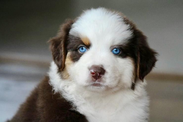 reputable_australian_shepherd_breeders_in_dc_area_1-1