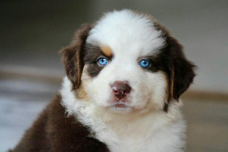 reputable_australian_shepherd_breeders_in_dc_area_1