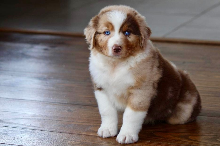 reputable_australian_shepherd_breeders_in_detroit_area_6