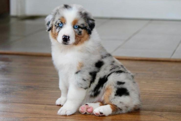 reputable_australian_shepherd_breeders_in_illinois_2