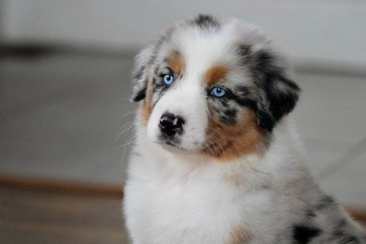 reputable_australian_shepherd_breeders_in_illinois_3
