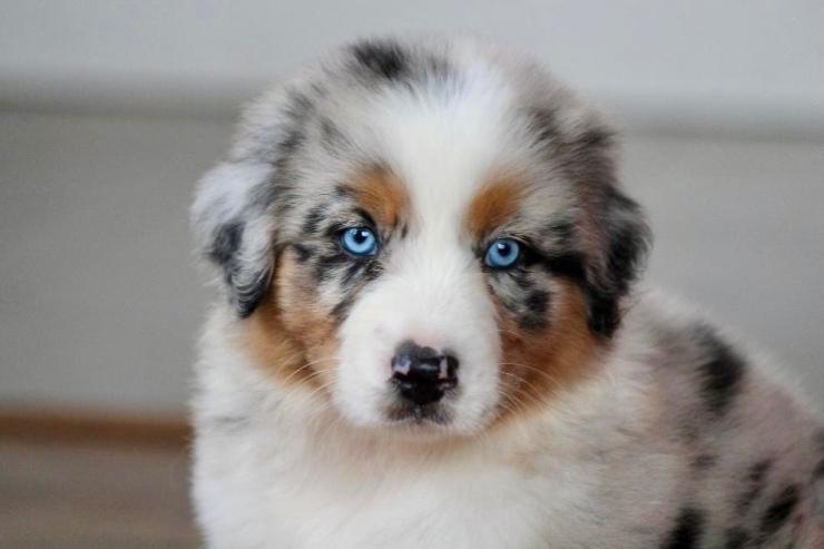 reputable_australian_shepherd_breeders_in_illinois_4
