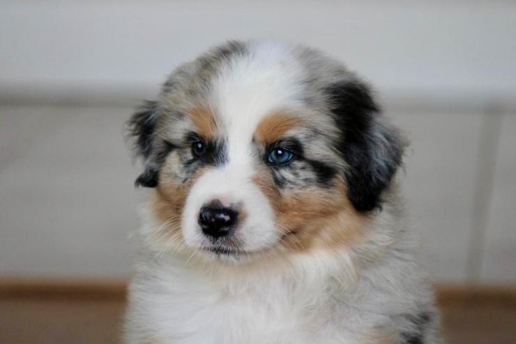 reputable_australian_shepherd_breeders_in_ohio_3