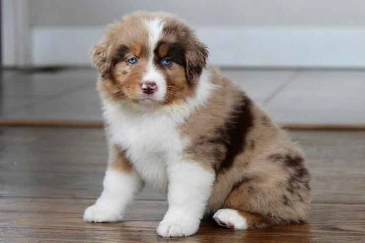 reputable_australian_shepherd_breeders_in_philadelphia_area_3
