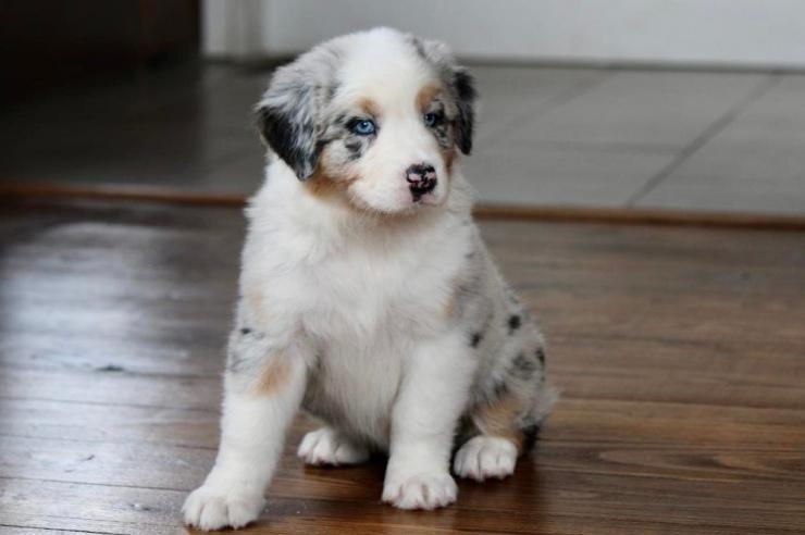 reputable_australian_shepherd_breeders_in_virginia_2