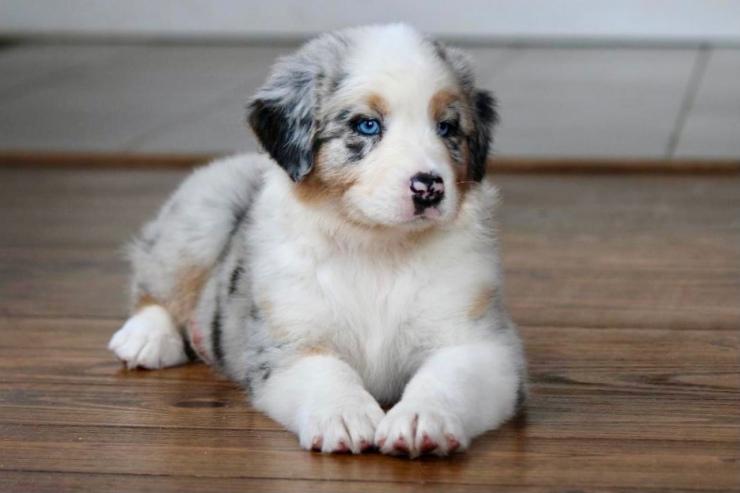 reputable_australian_shepherd_breeders_in_virginia_4