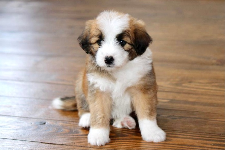 reputable_mini_aussiedoodle_breeders_in_cleveland_area