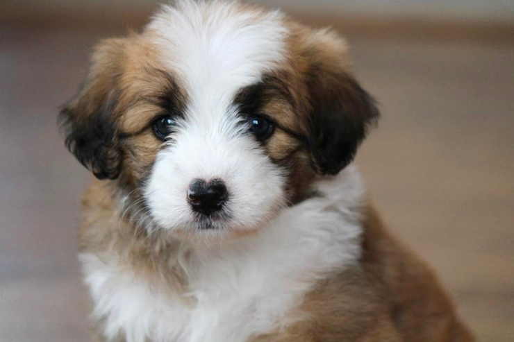 reputable_mini_aussiedoodle_breeders_in_cleveland_area_2