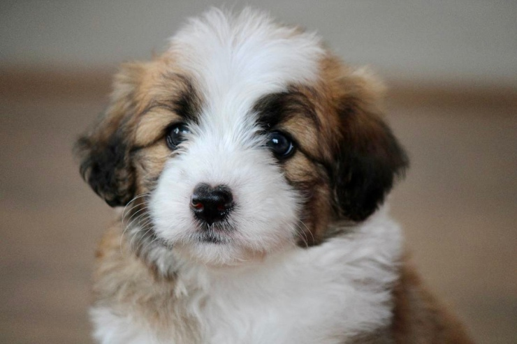 reputable_mini_aussiedoodle_breeders_in_cleveland_area_3