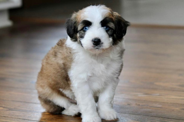 reputable_mini_aussiedoodle_breeders_in_new_jersey_area_