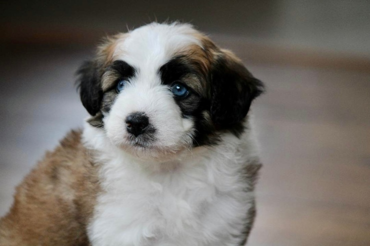reputable_mini_aussiedoodle_breeders_in_new_jersey_area_1