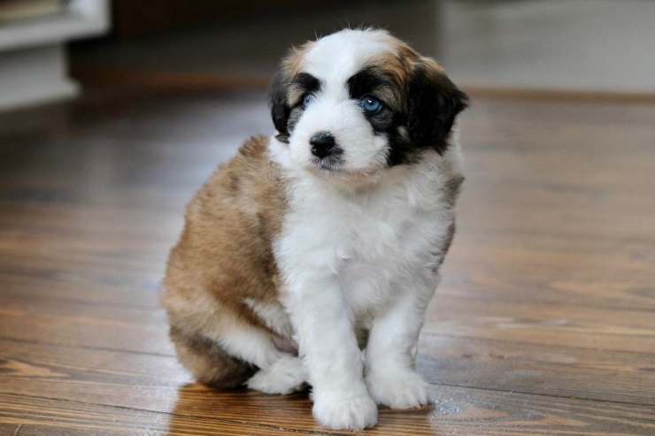 reputable_mini_aussiedoodle_breeders_in_new_jersey_area_3
