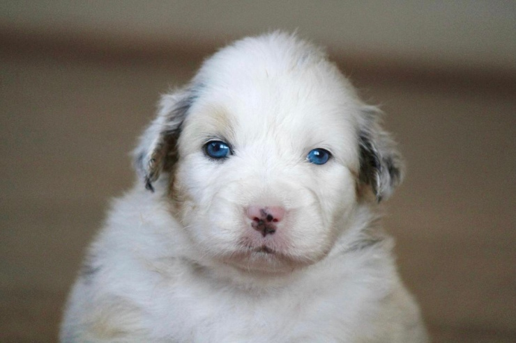 australian_shepherd_puppies_for_sale_chicago