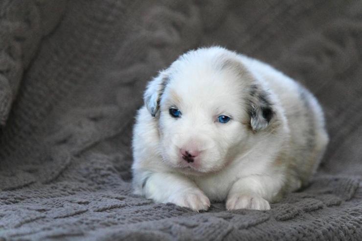 australian_shepherd_puppies_for_sale_chicago_1