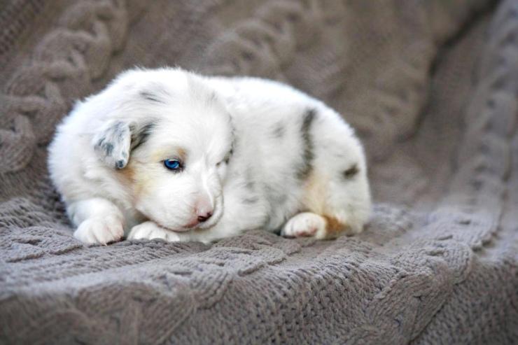australian_shepherd_puppies_for_sale_chicago_2