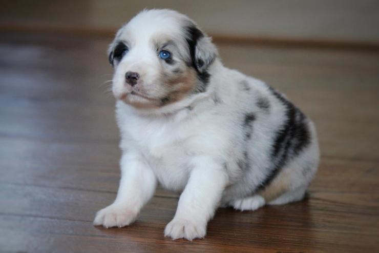 australian_shepherd_puppies_for_sale_illinois_1-1
