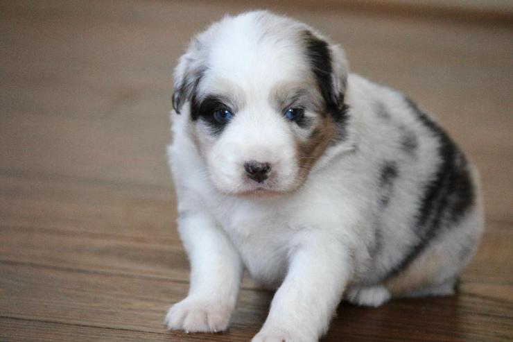 australian_shepherd_puppies_for_sale_illinois_2-1
