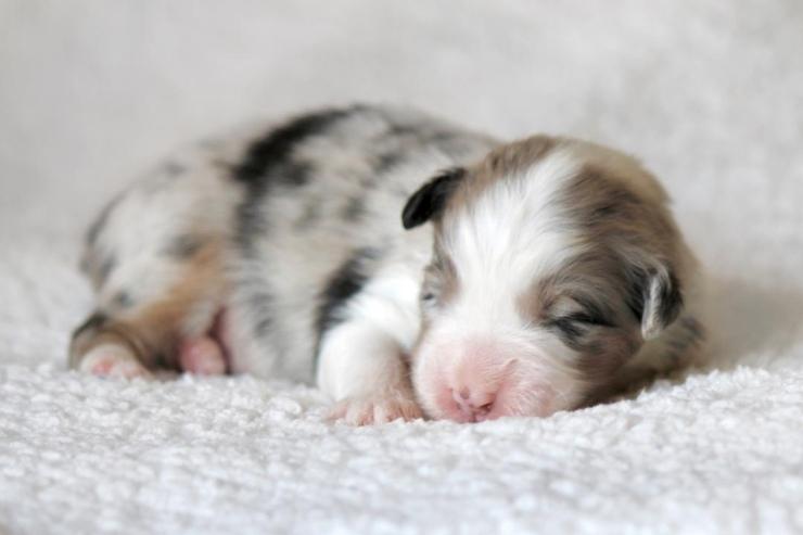 australian_shepherd_puppies_for_sale_in_hawaii_5