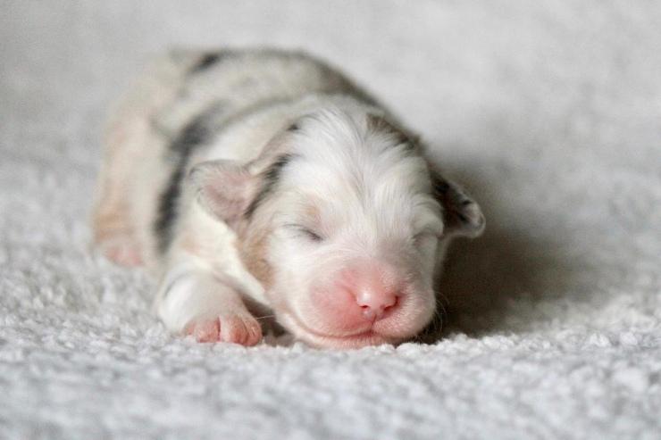 australian_shepherd_puppies_for_sale_in_new_england_area