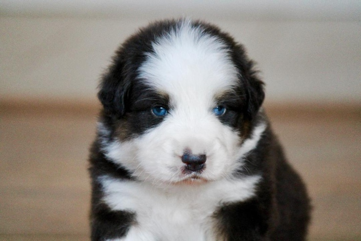 australian_shepherd_puppies_for_sale_indiana
