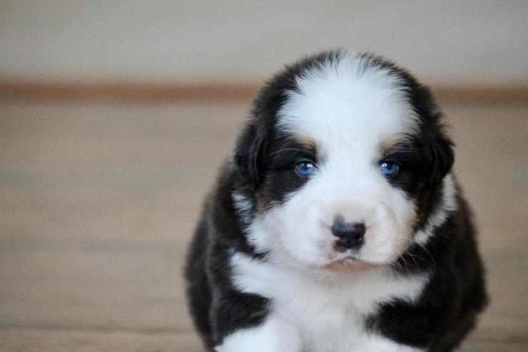 australian_shepherd_puppies_for_sale_indiana_1