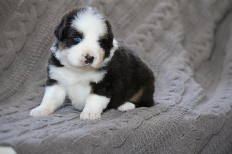 australian_shepherd_puppies_for_sale_indiana_2
