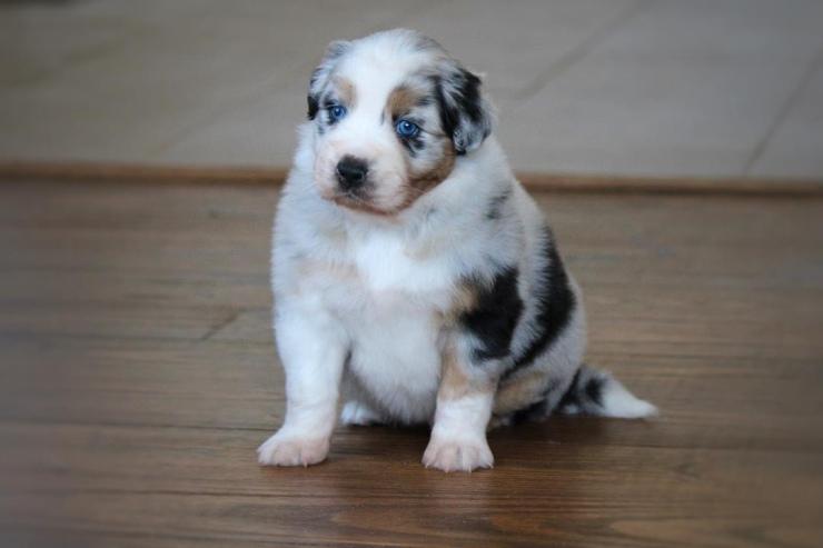 australian_shepherd_puppies_for_sale_michigan_1