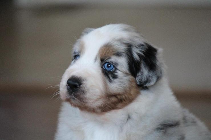 australian_shepherd_puppies_for_sale_michigan_2
