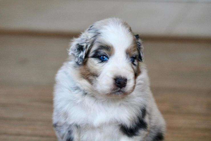 australian_shepherd_puppies_for_sale_new_jersey