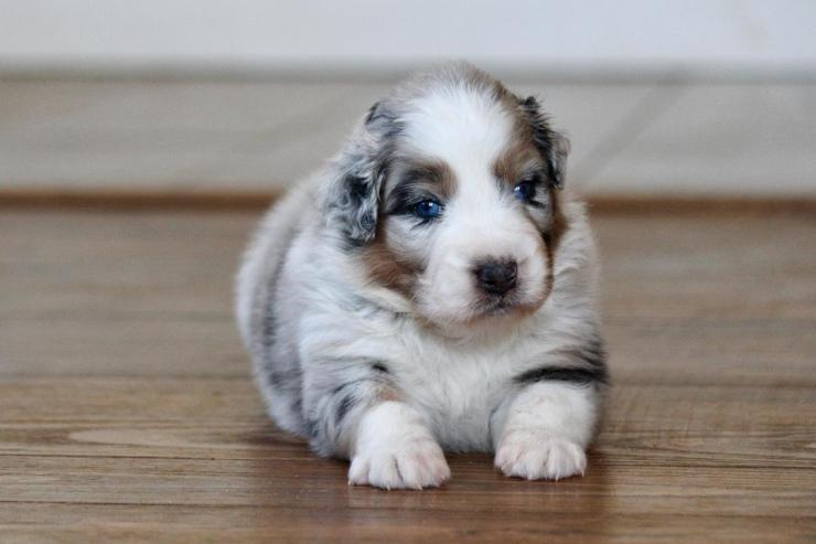 australian_shepherd_puppies_for_sale_new_jersey_2