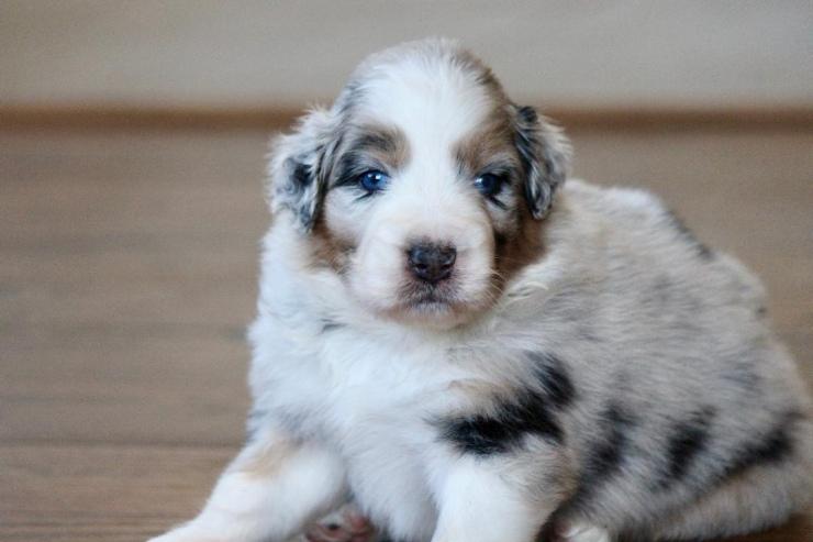 australian_shepherd_puppies_for_sale_new_jersey_3