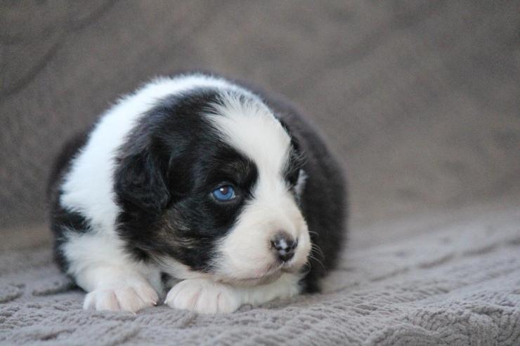 australian_shepherd_puppies_for_sale_new_york_1