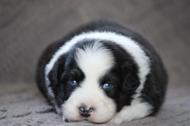 australian_shepherd_puppies_for_sale_new_york_2