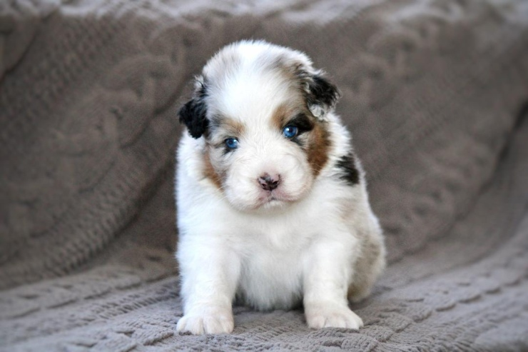 australian_shepherd_puppies_for_sale_ohio_1