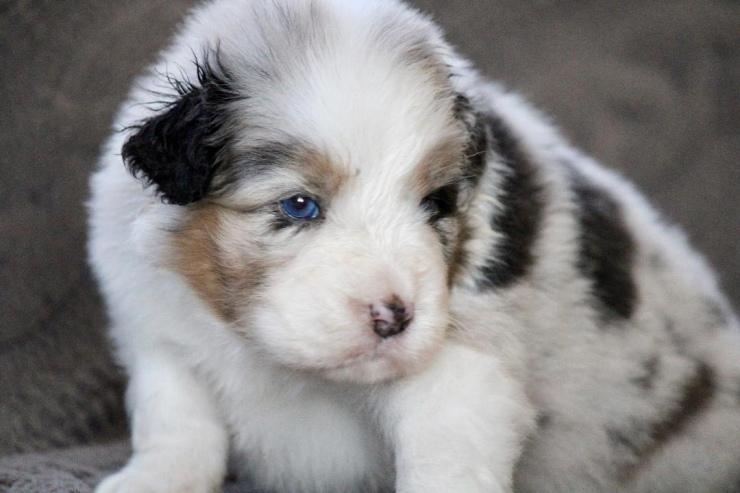australian_shepherd_puppies_for_sale_ohio_2