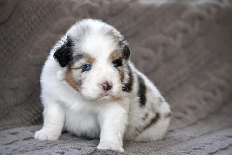 australian_shepherd_puppies_for_sale_ohio_3