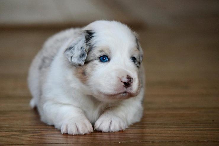 australian_shepherd_puppies_for_sale_wisconsin_1