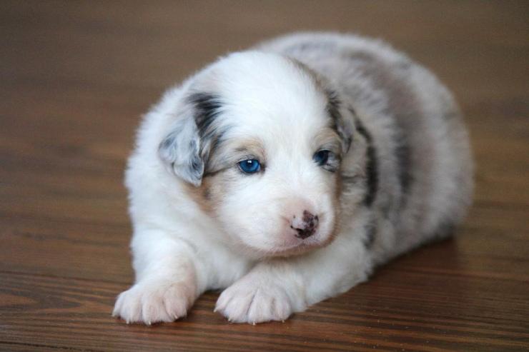 australian_shepherd_puppies_for_sale_wisconsin_2