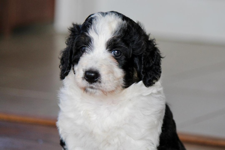 aussiedoodles_for_sale_in_mi