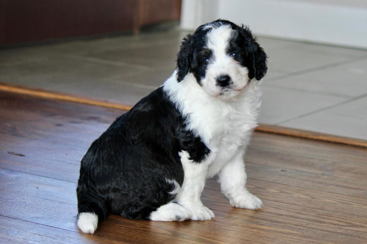 aussiedoodles_for_sale_in_mi_1